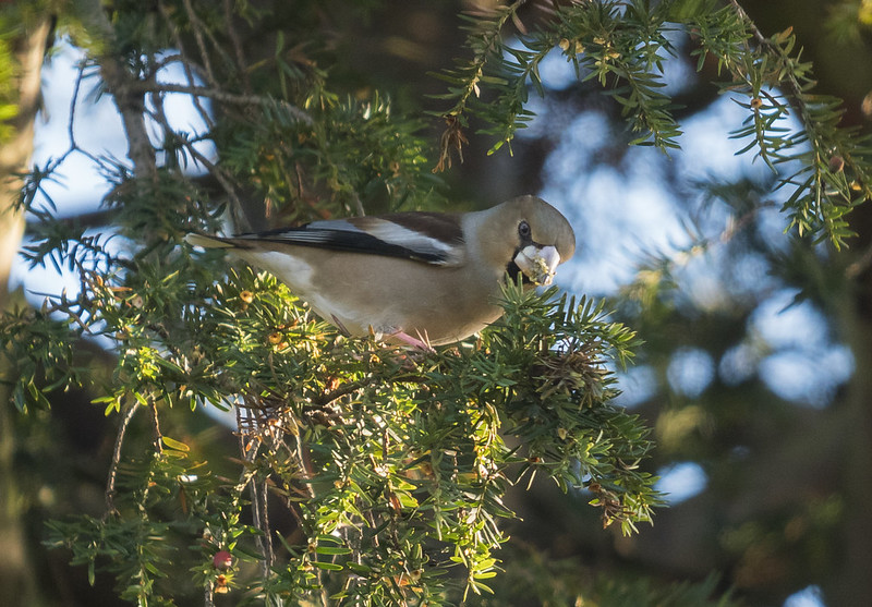 Hawfinch, The Lodge RSPB, 16th December 2017