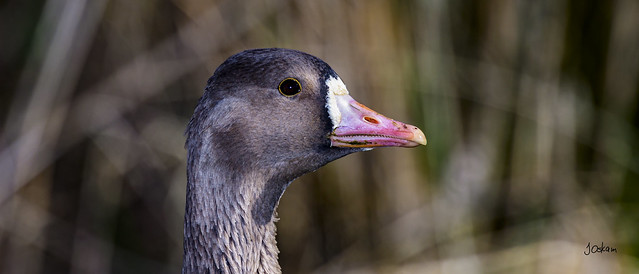 White Face Goose