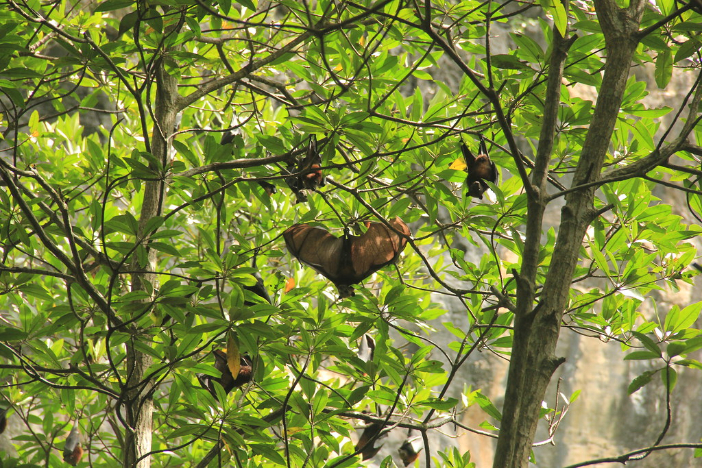 Flying Foxes, Thailand