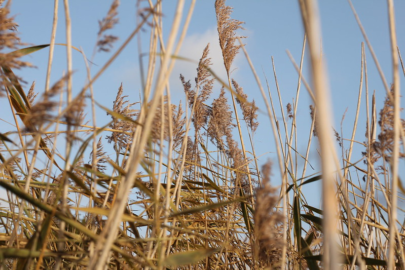Standing in a reed bed