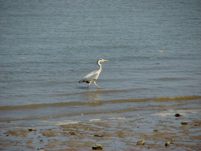 Heron on the Blackwater Estuary near Bradwell