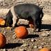 Pigs and Pumpkins