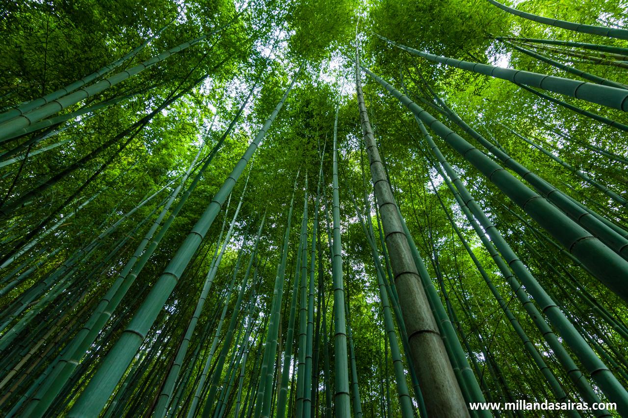 Bosque de bambú en Arashiyama, Kyoto