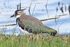 _W4A9559 Northern Lapwing (Vanellus vanellus) by ajmatthehiddenhouse