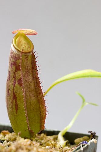 Nepenthes albomarginata (Balik Pulau)