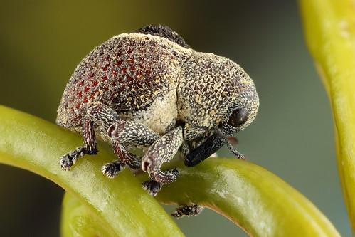 Long-nosed Weevil (Haplonyx sp?)