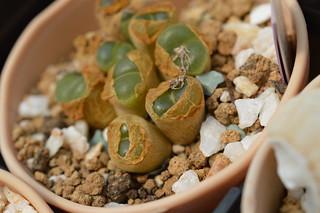 DSC_6131 Conophytum(=Ophthalmophyllum) lydiae f.harmoepense