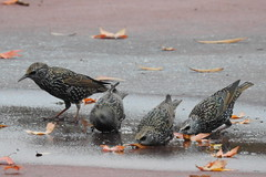 Starlings drinking water nearGreenbelt Lake