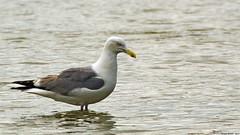 Goéland argenté (Larus argentatus)
