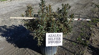 Azalea Silver Sword 3 gal 18-24 | by Johnson Farms