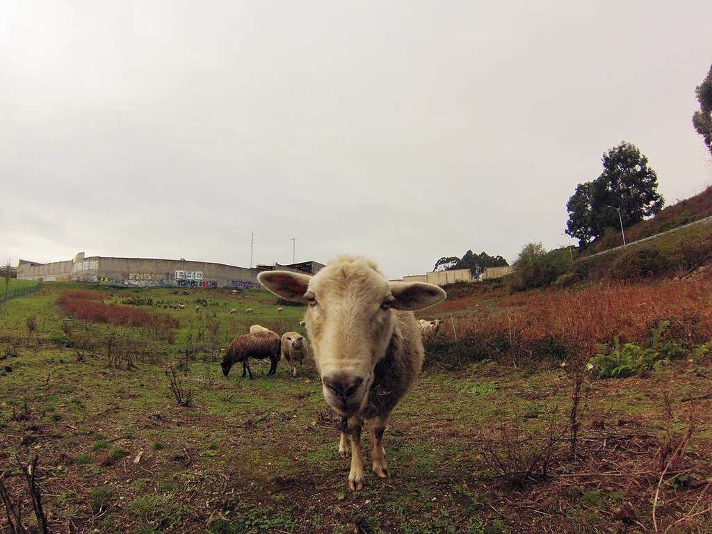 La mirada de la oveja. Fotos de domingo. 46/53. #fotosdedomingo_2017 #sheeps #gopro #Coruña #urbannature #photography