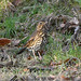 Song Thrush at Chesworth Farm, Horsham.