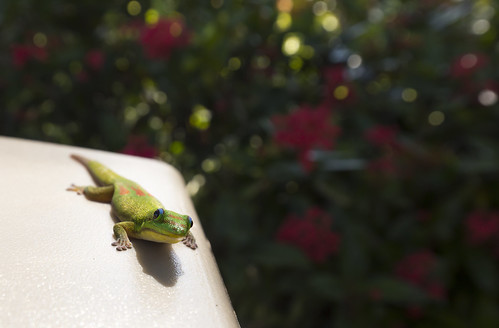 Gecko at Dole | by Robin Earl