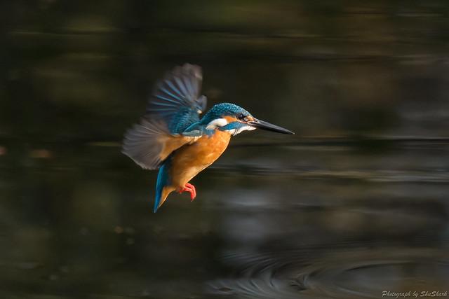 20171216-kingfisher-DSC_0818
