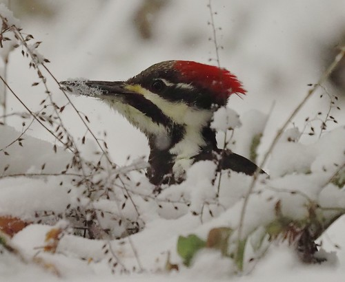 Pileated Woodpecker in the snow. Explored.