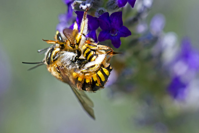 missionary bees