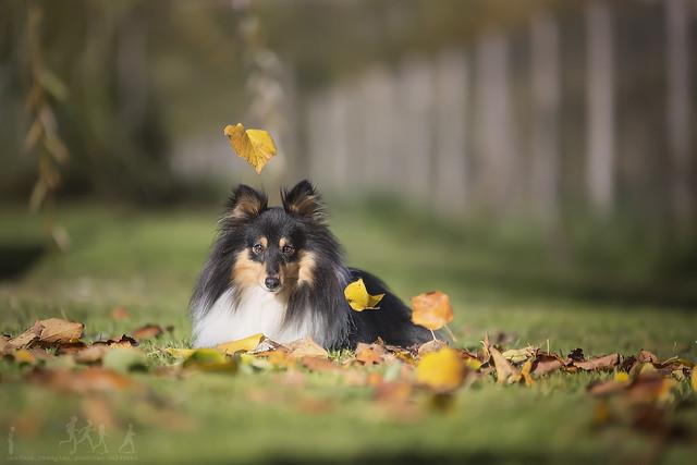 shetland in autumn