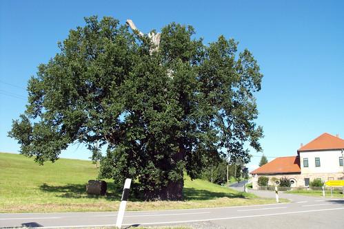 Hermannsfeld, Eiche