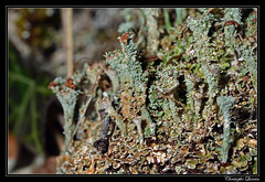Cladonia pocillum - Photo of Champagny