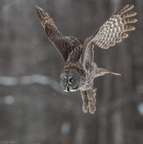 greatgrayowl greatgreyowl greyowl grayowl owl phantomofthenorth cinereousowl spectralowl laplandowl spruceowl beardedowl sootyowl strixnebulosa strix strigidae typicalowl trueowl nigelje montreal québec canada