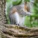 grey squirrel 10 03 EJC #
