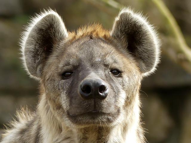 hyena Pairi Daiza