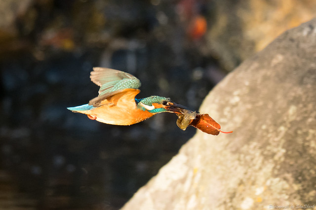 20171125-kingfisher-DSC_8585