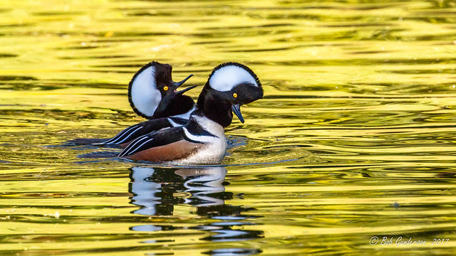 Hooded Mergansers (m)