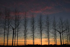 Sunset through the poplars, with wind turbines