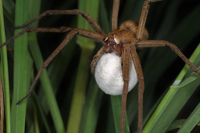 La Pisaura mirabilis est ici en déplacement dans la végétation basse en portant entre ses pattes-mâchoires le cocon qui contient ses oeufs.