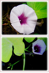 Pink and violet funnel-shaped flowers of Ipomoea batatas (Sweet Potato, Sweet Potato Vine, Keledek in Malay), 7 Nov 2017