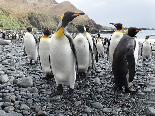 King penguins gather on the beach.
