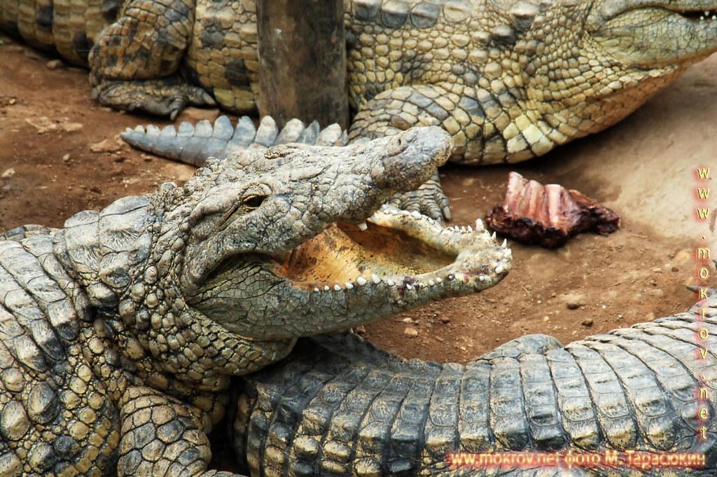 Крокодил, провинция Лимпопо ЮАР.