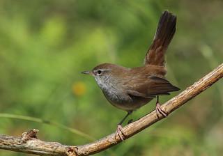 Rouxinol-bravo (Cettia cetti)