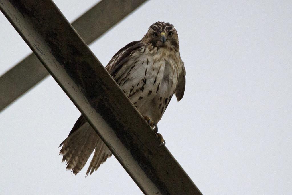 imm. hawk, bird id purpose only