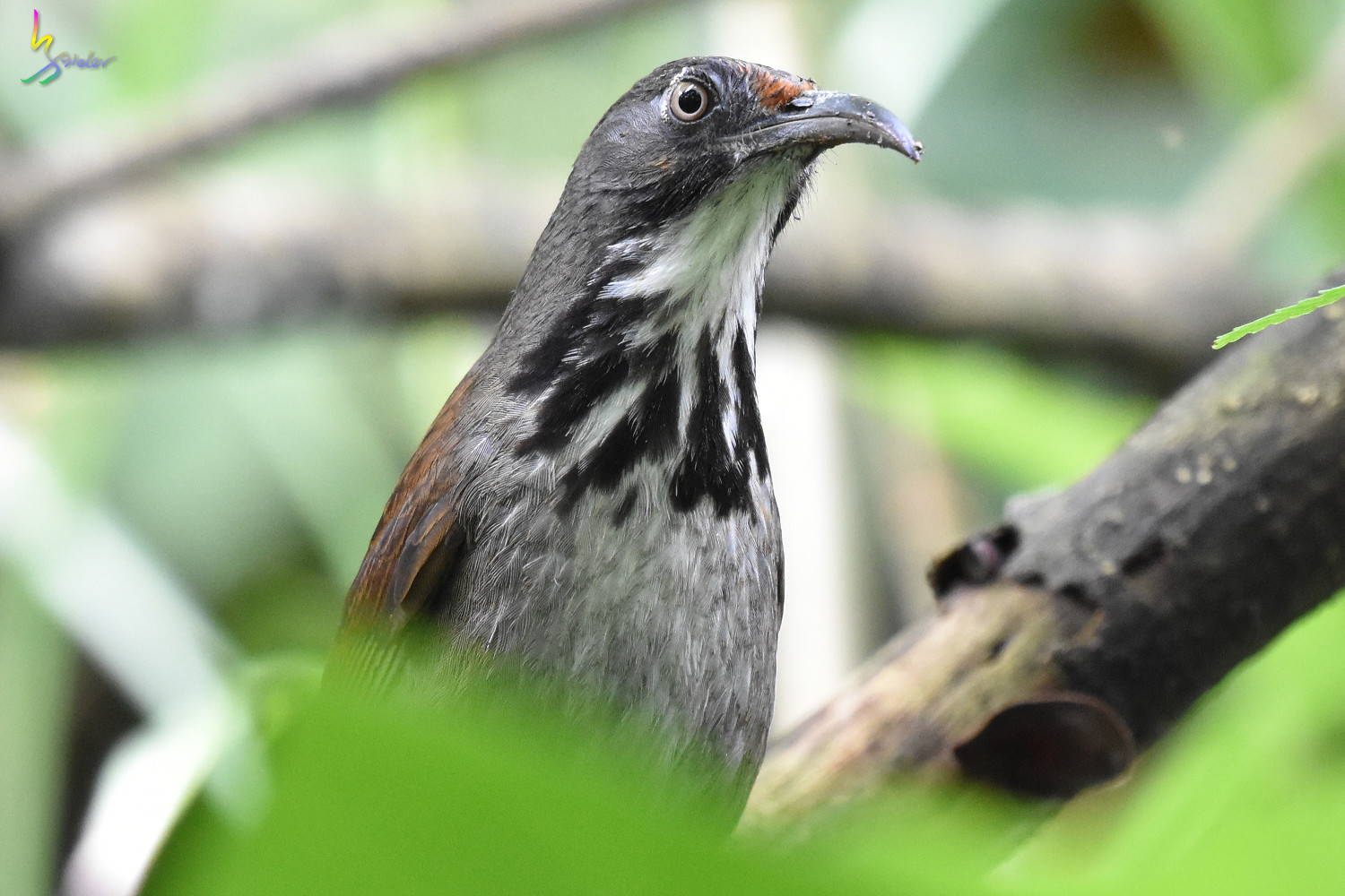 Rusty-cheeked_Scimitar-Babbler_0640