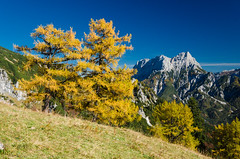 Larch in the Mountains