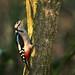 Great Spotted Woodpecker Calke