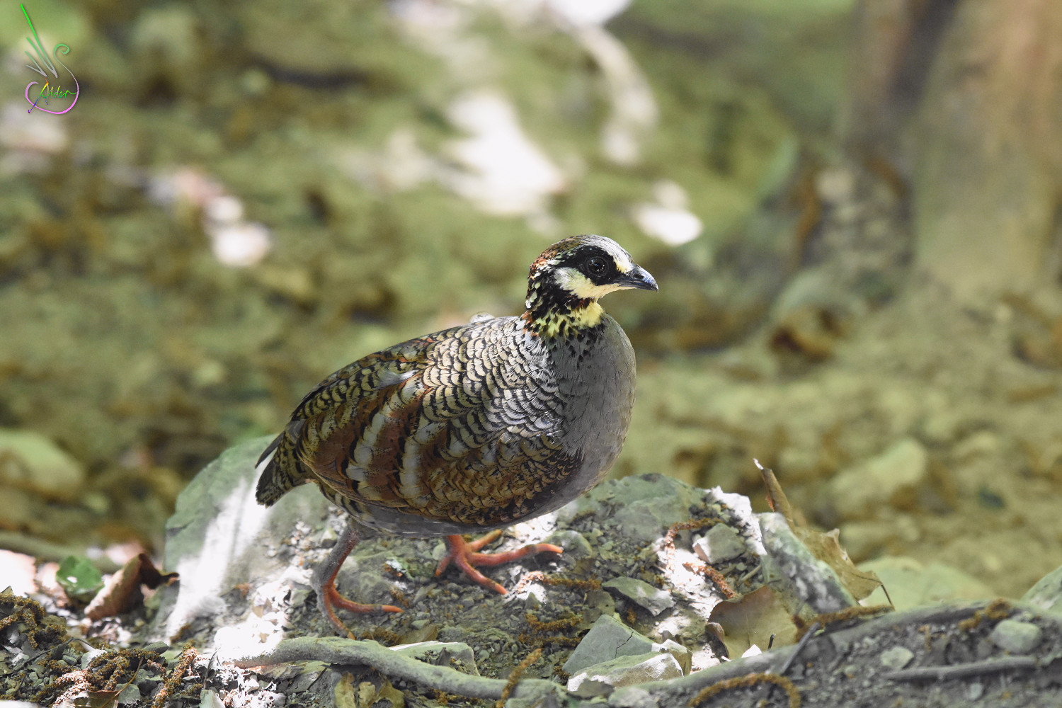 Taiwan_Hill_Partridge_4563
