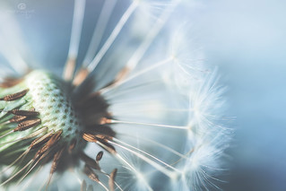 history of a dandelion - part 3
