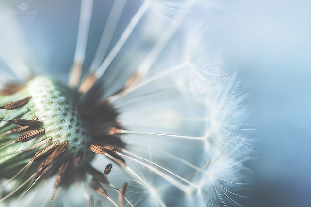 history of a dandelion - part 3