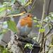 (055) Bird - Robin - North Cove Reserve