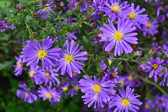 SYMPHYOTRICHUM 'Hill Close Blue'