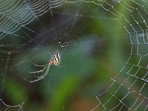 Garden Spider 20171122