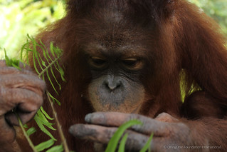 Orangutan of the Month Jalin Orangutan Foundation International wildlife orangutan rescue conservation