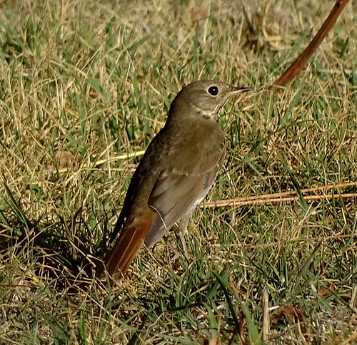 hermitthrush thrush catharusgutattus catharus woolmanschool nevadacounty california heth