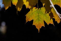 canada-fall-maple-leaf-59169_20141019_GK.jpg