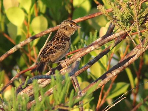 Grasshopper Sparrow 04-20171109
