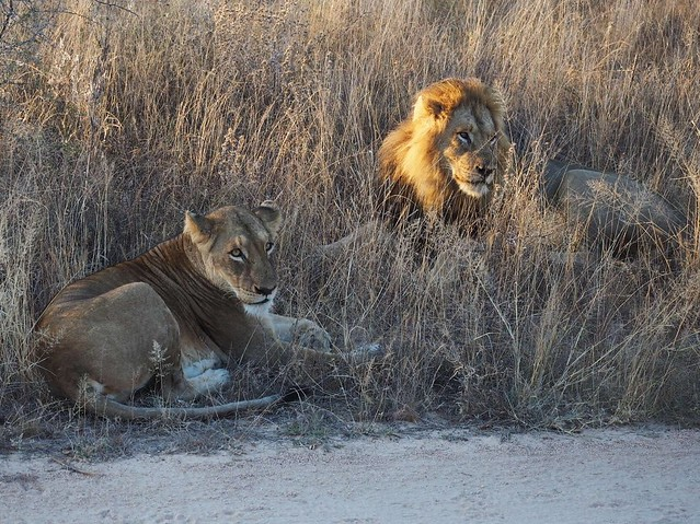 Pair of Lions Kruger