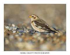 HolderSnow Bunting in the sun!